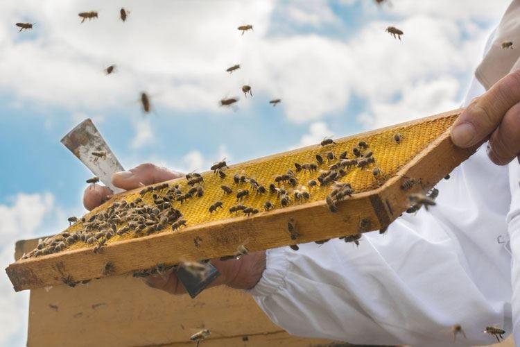 """Afa e siccità, api in crisi Col """"nomadismo"""" si limitano i danni"""