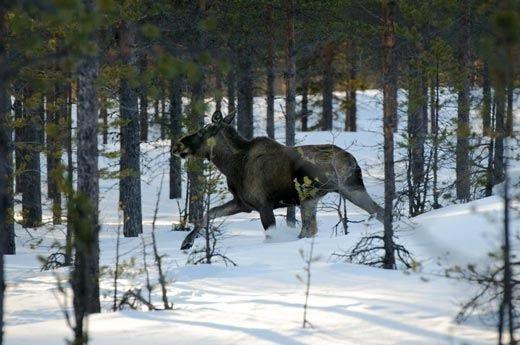 I tesori segreti della Lapponia svedesetra paesaggi incantevoli e buon cibo