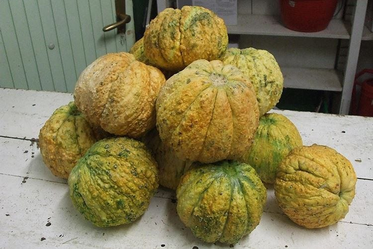 Antichi meloni reggiani nuovo Presidio Slow Food