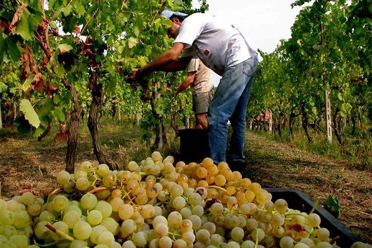 Al via la vendemmia di Moscato e Asti Minor quantità ma buona resa delle uve