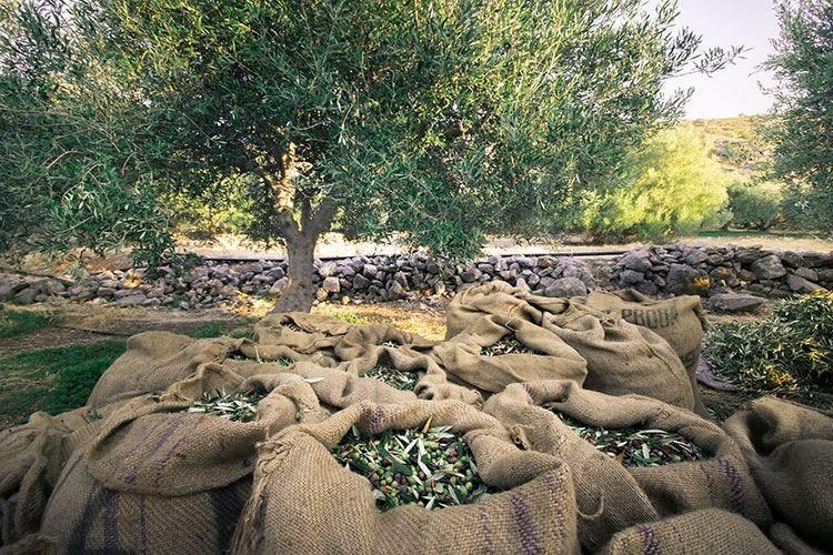 Due decreti per gli olivicoltori Aiuti anche in caso di Xylella