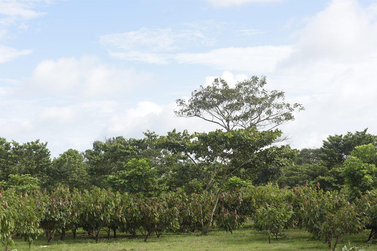 El Caco, piantagione di 2.500 ettari di Ritter in Nicaragua Valrhona e Ritter schierateper la tutela dell'ambiente
