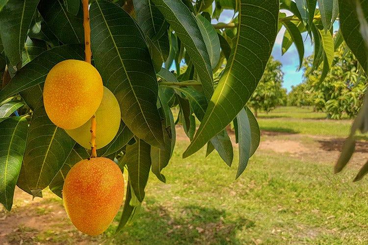 Frutti tropicali made in Sicilia La scommessa vinta di Be Fruit