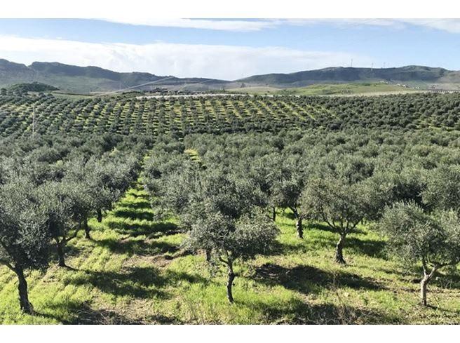 Gli Evo siciliani di Val Paradiso Profumata estrazione da olive verdi