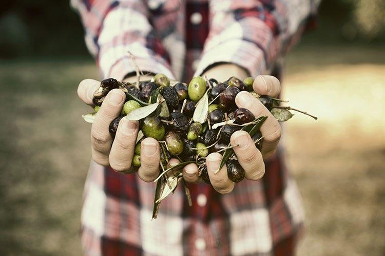 In Italia 9 famiglie su 10 consumano olio extravergine d'oliva tutti i giorni - La pandemia spinge l'olio italiano ma la produzione non basta
