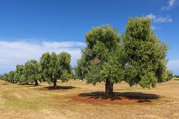 Il 26 novembre è la Giornata mondiale degli ulivi - Olio, crisi nei ristoranti chiusi ma boom a casa e online