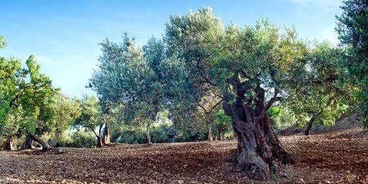 Un viaggio tra le cultivar di Trinacria insieme all'accademia Maestro d'olio