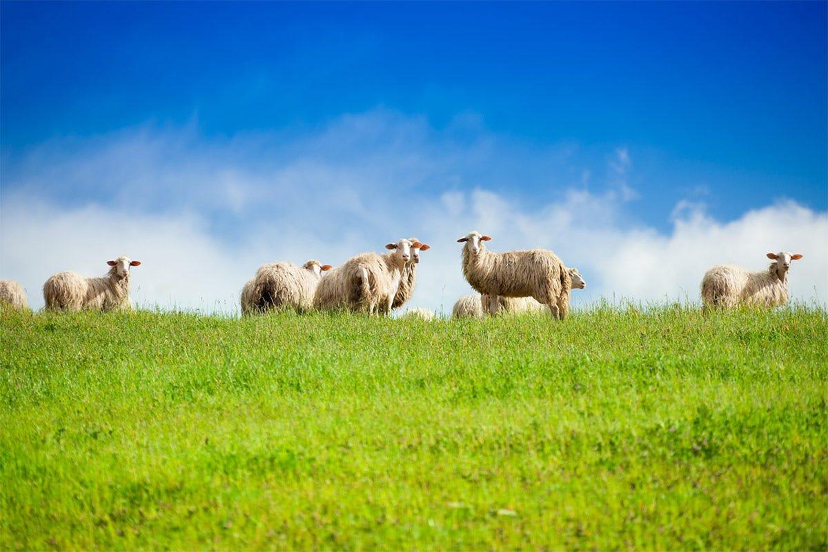 La ricerca ha disostrato che le pecore allevate con un sistema semi-estensivo producono un latte migliore Caseificio Manciano, Dop di ricerca Pecorino Toscano Amico del Cuore