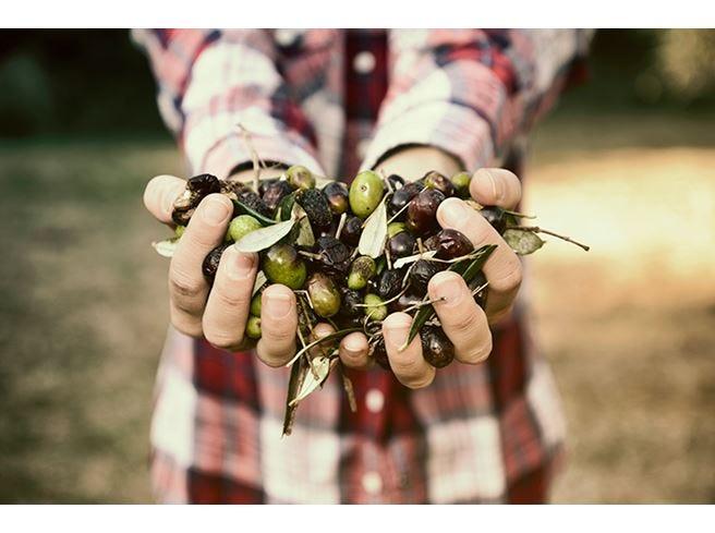 Peggior campagna olivicola di sempre ma cisterne piene di olio evo invenduto