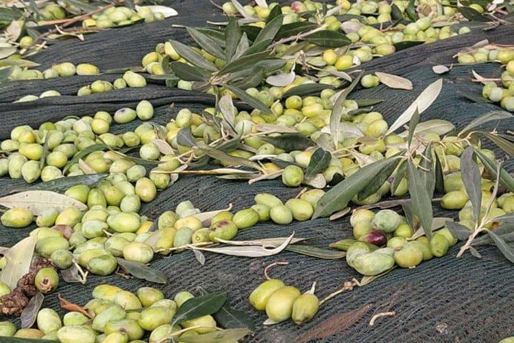 La cultivar Peranzana è un prodotto tipico di qualità eccelsa - Peranzana, l'eleganza dell'olio Perfetto con piatti delicati