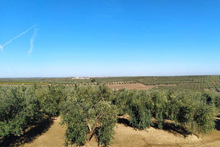 Sono coltivati circa 6500 ettari di Peranzana - Peranzana, l'eleganza dell'olio Perfetto con piatti delicati