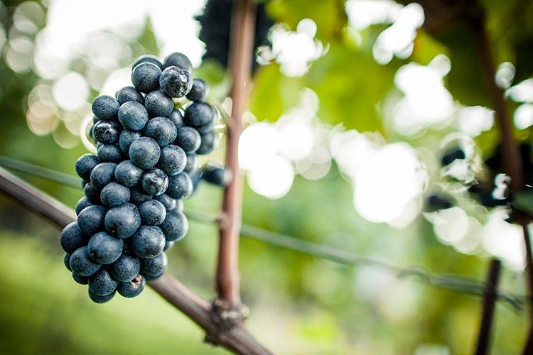 Pinot nero, re dell'Alto Adige Profumato, elegante e avvolgente