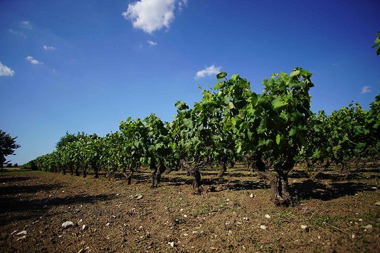 Cantine Torrevento-Oria Wine. Patto per lanciare il Primitivo
