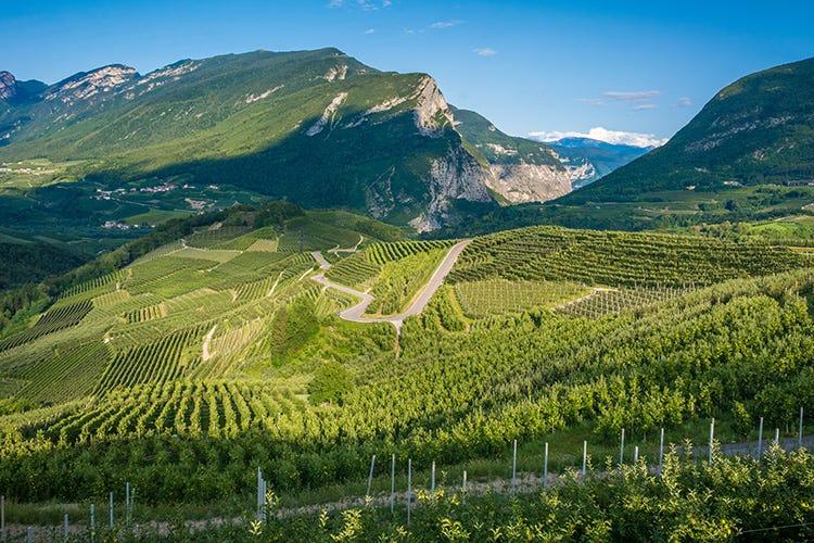 Vigneti Santa Margherita nella Valle dell'Adige - Strutturato e versatile in tavola Ecco perché piace il Pinot Grigio