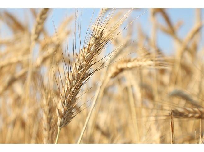 Tritordeum, il cereale del futuro per una farina innovativa e 100% naturale