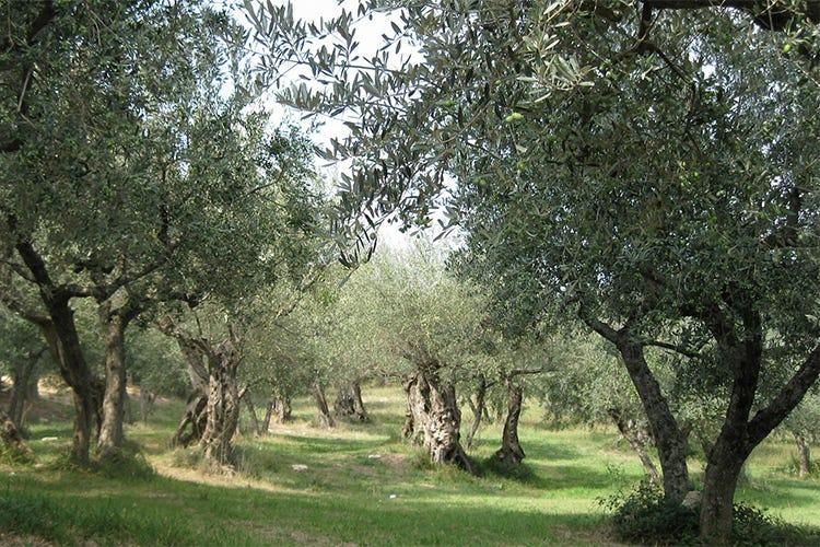 Dauno e Terra di Bari, due Dop pugliesi con caratteristiche sensoriali uniche - Italia a Tavola