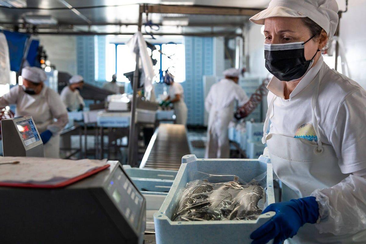 Processo di confezionamento di branzoni e orate presso Agroittica Toscana Orata e branzino, qualità e tracciabilitàLa competizione estera non spaventa