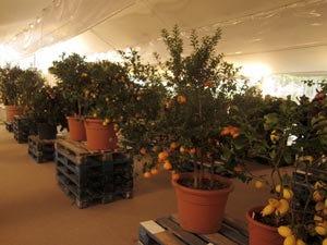 Profumo di agrumi e colori intensi specialit agricole del for Acquistare piante di agrumi