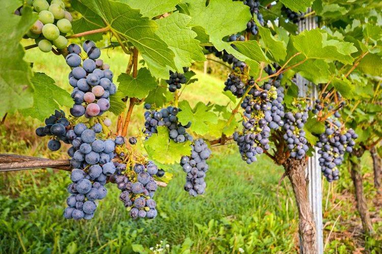 Allarme siccità in Lombardia A rischio corsi d'acqua e vitigni