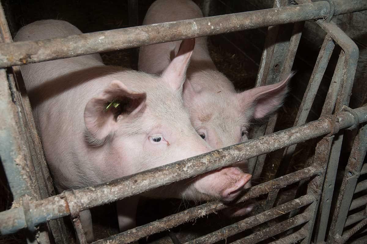Animal Equality ha diffuso un nuovo video sui maltrattamenti negli allevamenti di maiali Allevamenti fuori norma, la nuova inchiesta di Animal Equality a Mantova
