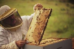 Stop al miele contaminato da Ogm La Corte di giustizia Ue vieta la vendita