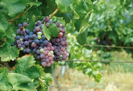 Arcole, la Doc punta su accoglienza e viticoltura da competizione