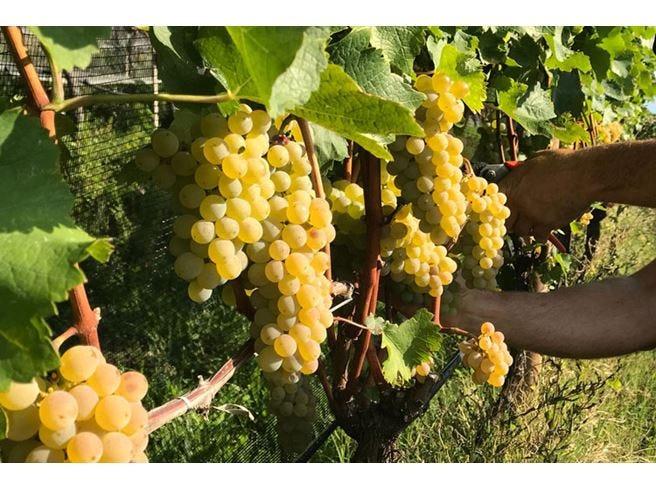 Associazione Sauvignon Alto Adige Nasce la realtà che promuove il vitigno