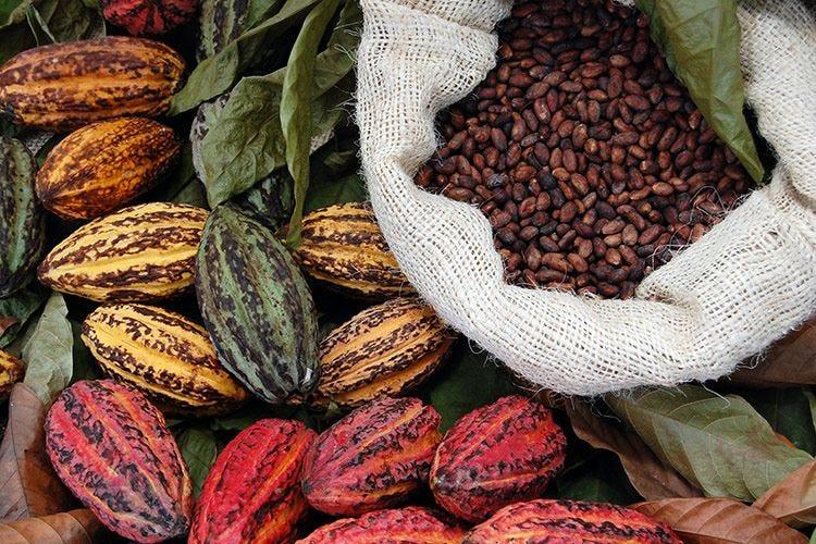 Cacao - SCHEDA