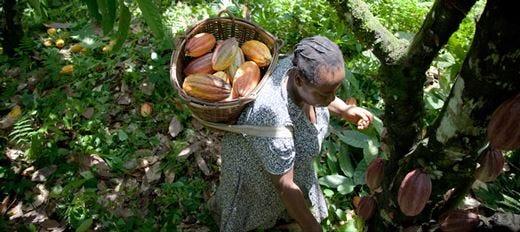 Growing Great Chocolate Il cioccolato Callebaut si fa sostenibile