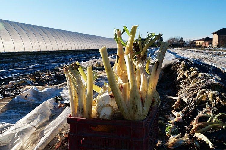 Il cardo avorio al momento della raccolta - Il cardo avorio di Isola d'Asti Genuino e versatile in cucina