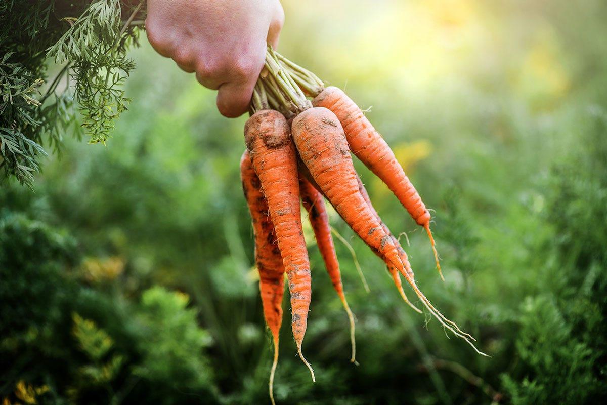 Dal campo alla tavola, la carota fa bene alla salute Le carote non sono tutte arancioni Il rilancio delle varietà antiche