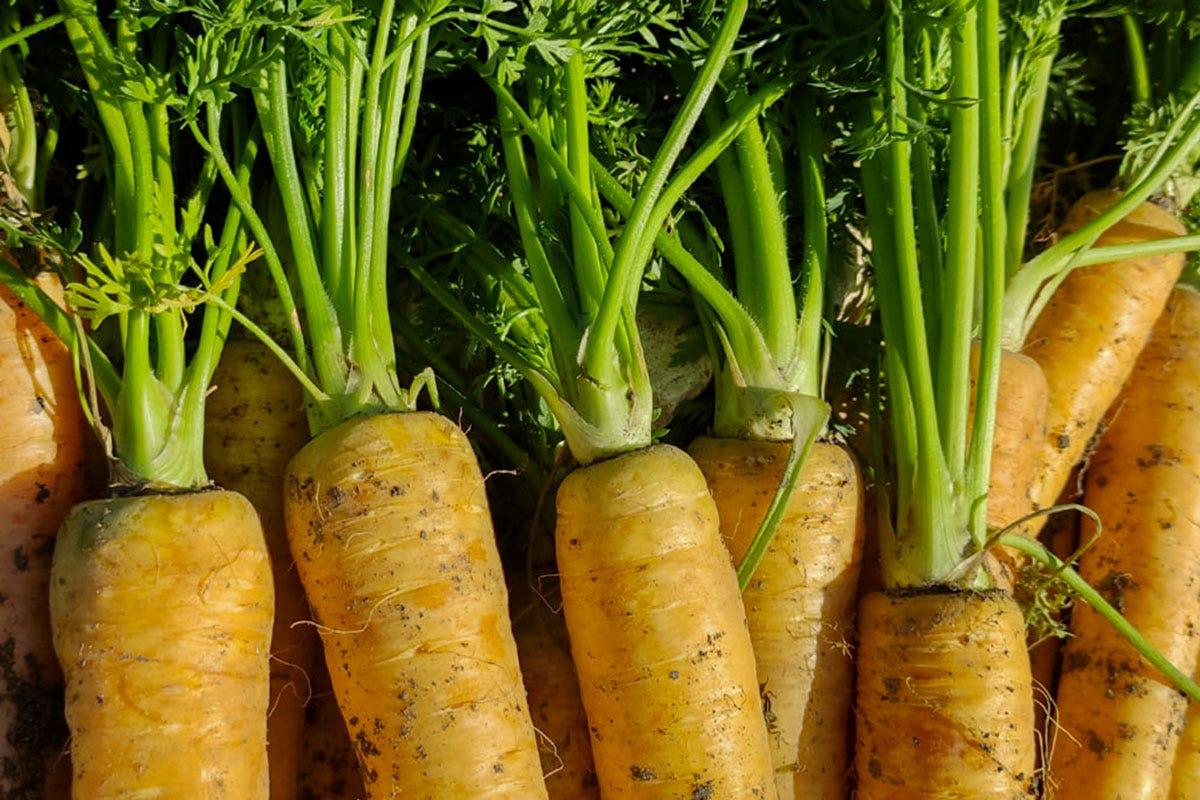 La carota gialla prodotta da Natura Iblea Le carote non sono tutte arancioni Il rilancio delle varietà antiche