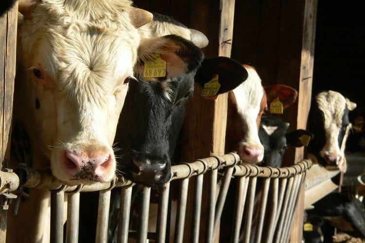 "Caso di ""mucca pazza"" a Ravenna Indagini sul decesso di una 59enne"
