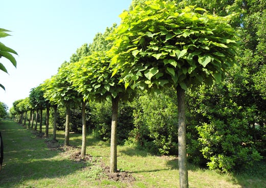 Dehors a prova di zanzare Bastano le piante di Catambra - Italia a Tavola