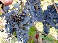 Il Cerasuolo abruzzese, un grande vino rosato