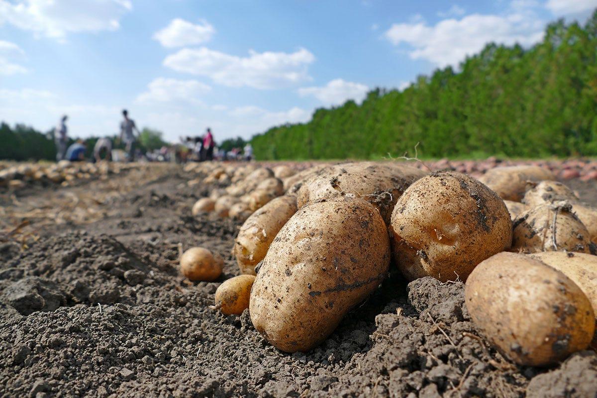 Patate appena raccolte Frutta e verdura, cambio di stagione Prezzi su per primizie e biologico