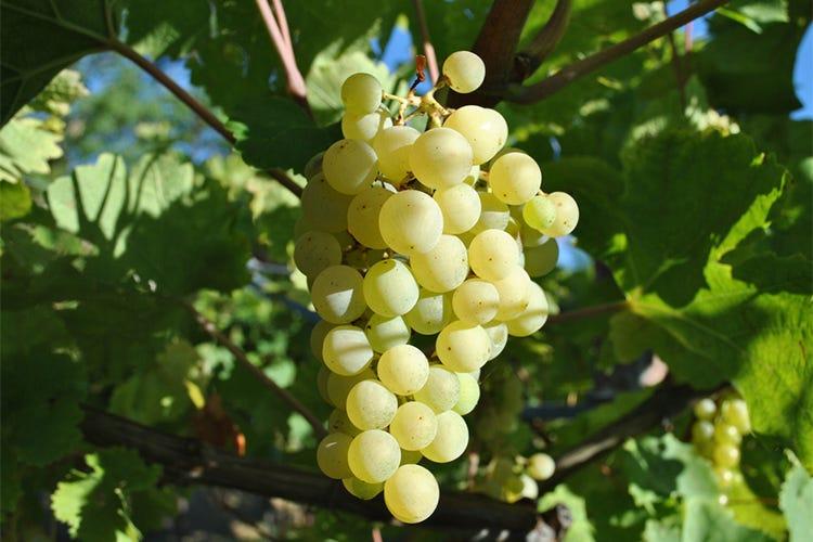 (Invernenga, vitigno bresciano ideale per lunghi affinamenti)