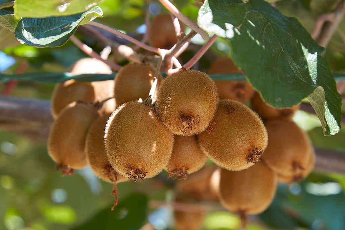 Kiwi ancora da cogliere Frutta e verdura, cambio di stagione Prezzi su per primizie e biologico