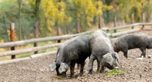 Tour gratuiti all'azienda Rosa dell'Angelo dedicati al prosciutto di maiale nero