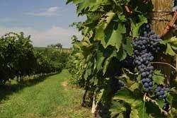 Vino Nobile di Montepulciano: calo delle uve ma resta grande la qualità