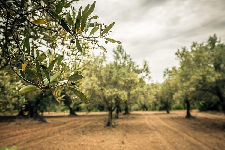 Italia, la crisi dell'olio d'oliva La produzione cala del 59%