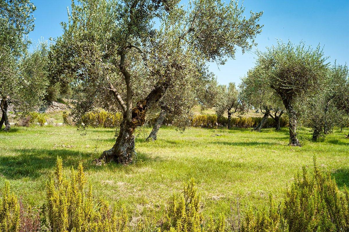 In queste zone due le varietà principali, Casaliva e Grignan
