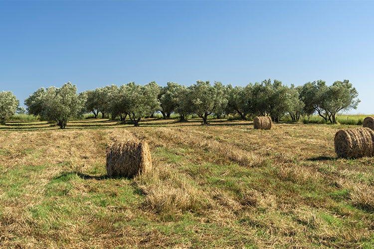 Le cultivar autoctone più conosciute: la Caninese, la Carboncella e l'Itrana - Il lazio, dove l'olio extravergine ha fondato il suo impero
