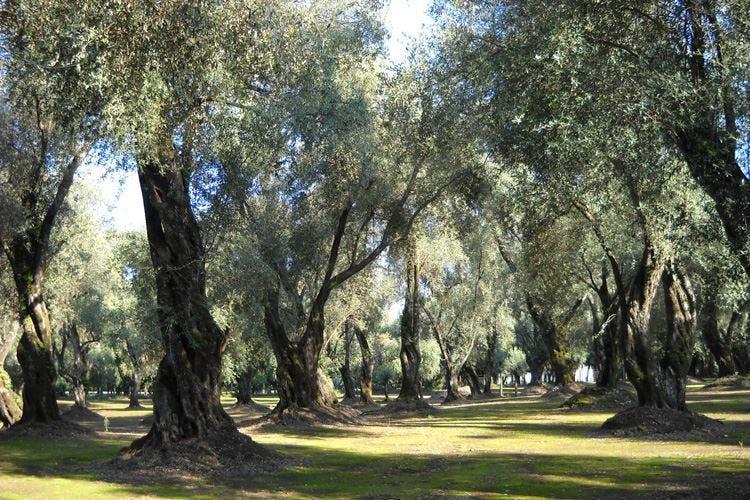 Olio d'oliva, cresce la produzione Ma Assitol: Tante ombre sul settore