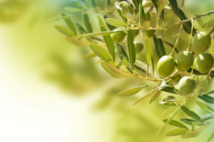 Olive, parte la raccolta in Molise La Regione chiede due nuove Dop