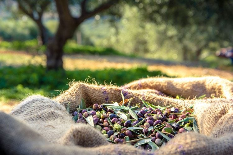 Olio Evo italiano in ginocchio Produzione ai minimi storici