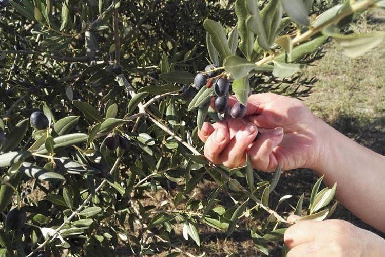 Oltrepò Pavese, terra d'olio di oliva Il Feudo Nico incontra la tradizione