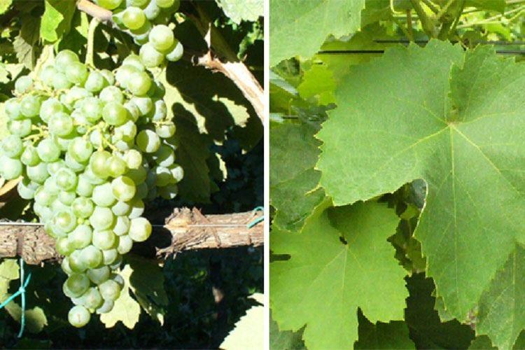 Pampanaro, vitigno laziale Raro, antico e intrigante