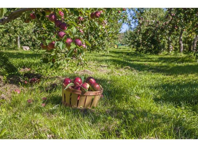 Parte la raccolta delle mele Produzione in calo del 3%