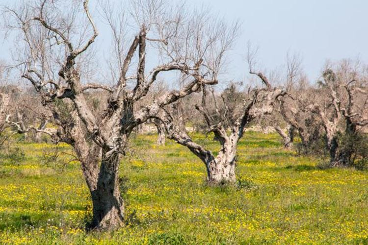 Per salvare gli ulivi e l'olio serve la scienza
